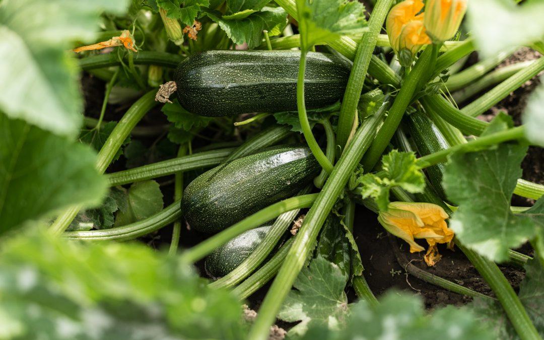 Hyötykasvit: kesäkurpitsa