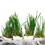 Pääsiäisruohon ja versojen kasvatus